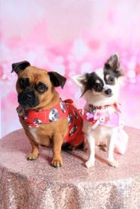Bella (Chug) and Boo (Chihuahua)